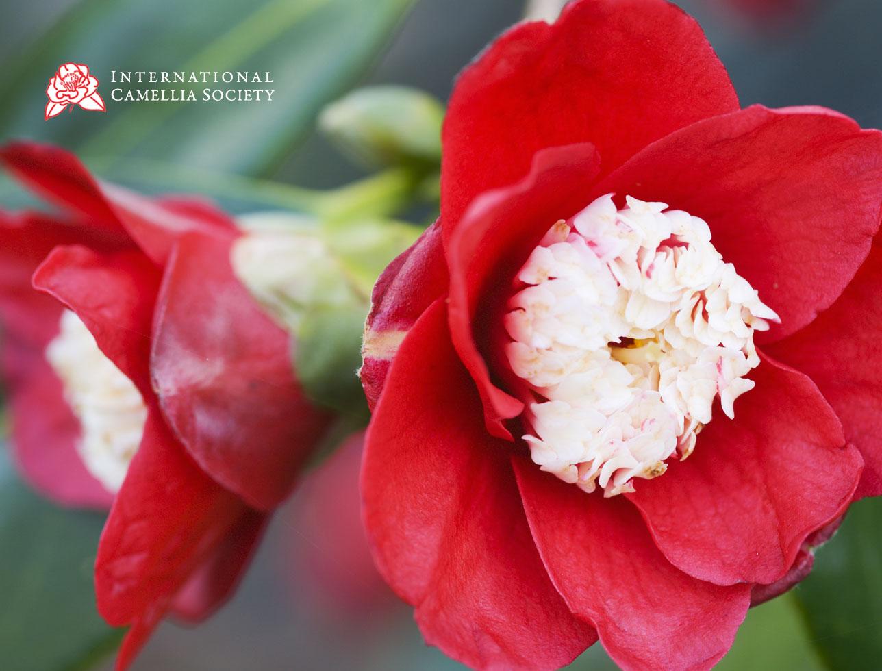 International Camellia Society website design
