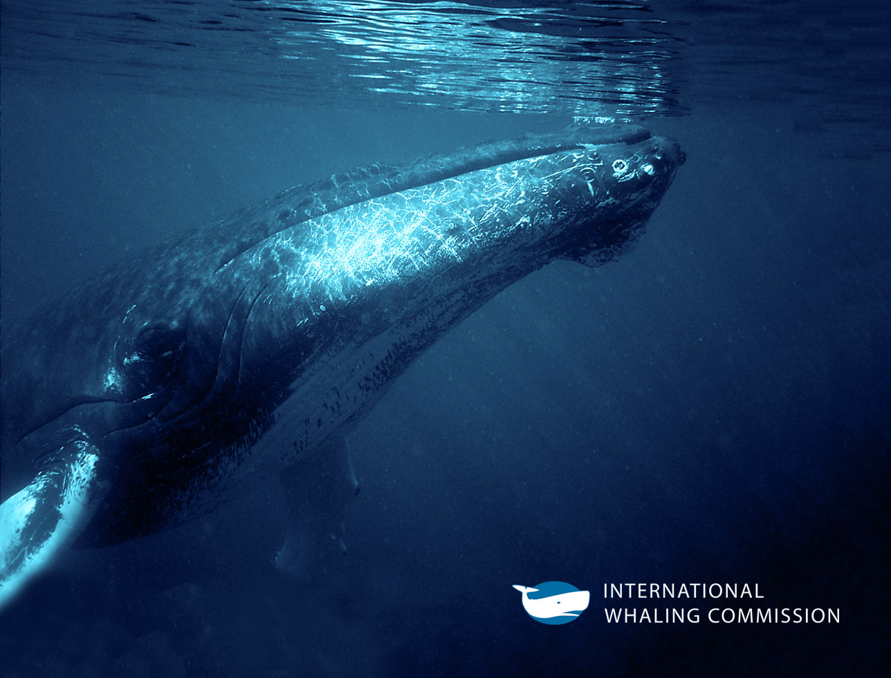 International Whaling Commission website development